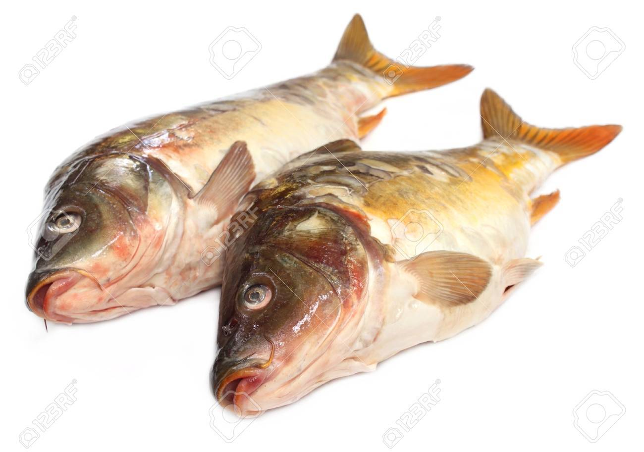 Mirror Carp Stock Photo - 16560772