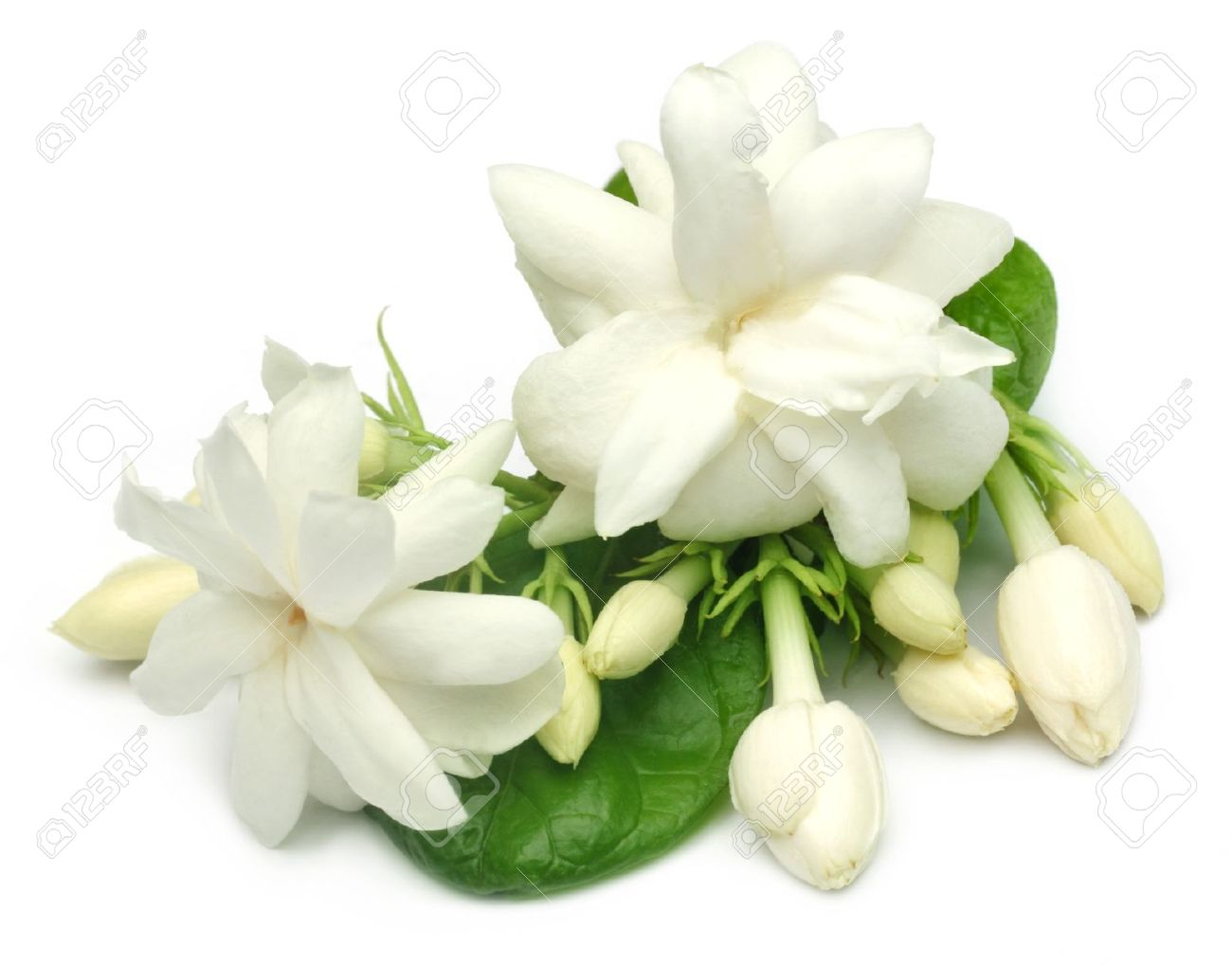Jasmine Flower With Leaves Stock Photo Picture And Royalty Free