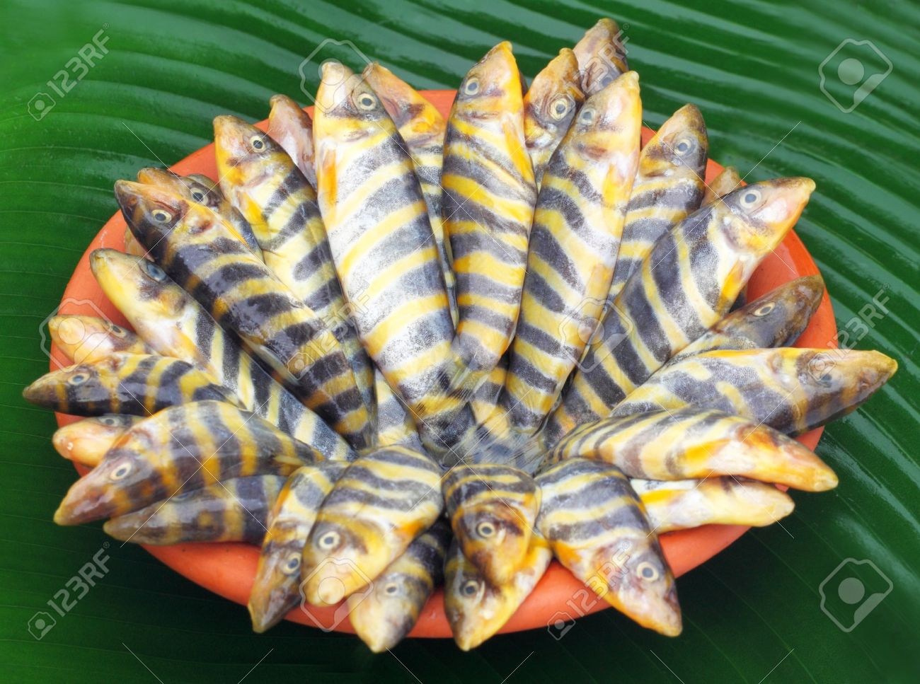 Botia Dario Or Rani Fish Of Indian Subcontinent Stock Photo Picture And Royalty Free Image Image 22006121