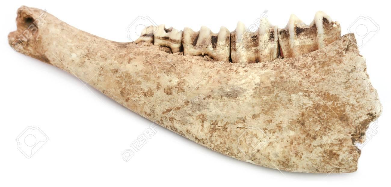 Kuh-Knochen Von Kiefer Auf Weißem Hintergrund Lizenzfreie Fotos ...