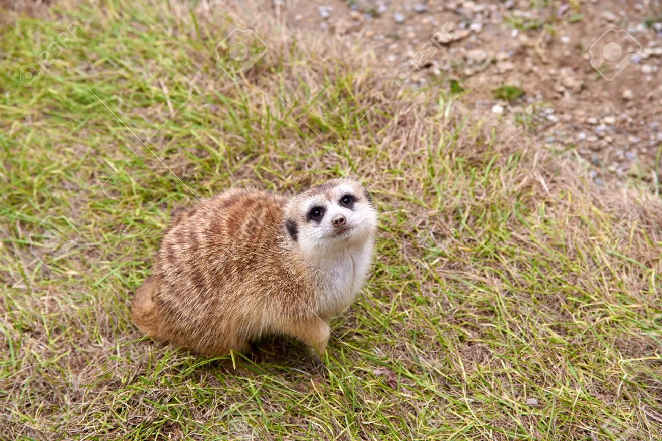 "Image result for meerkat on grass"""