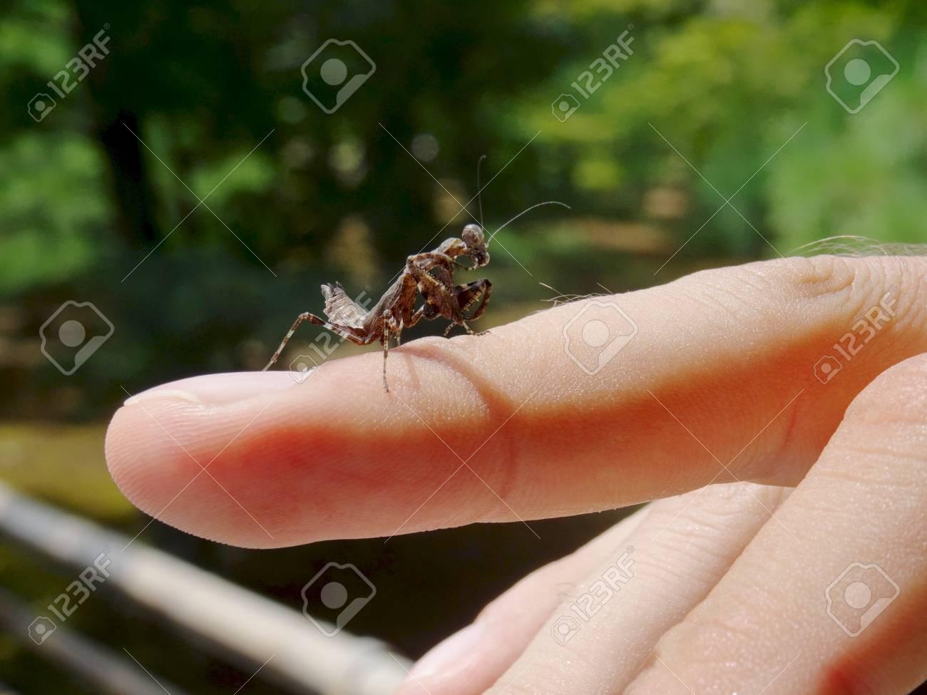Close Up Of A Baby Black Praying Mantis Walking On A Finger