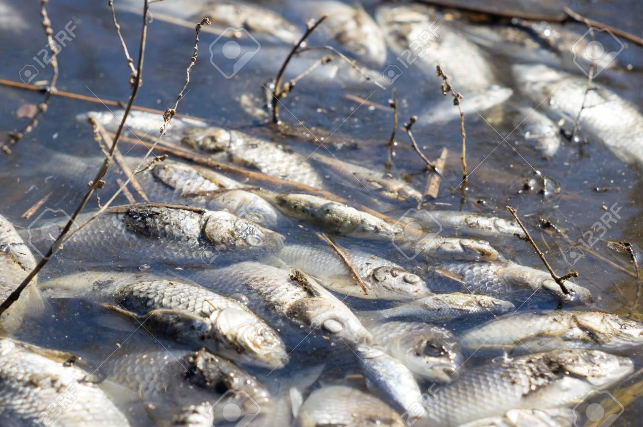 Dead Fish In The Water Stock Photo Picture And Royalty Free Image Image 75054463