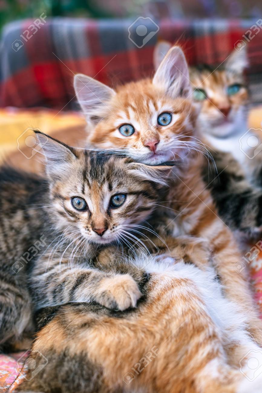 Two kittens and their mother on a blanket. - 117377141