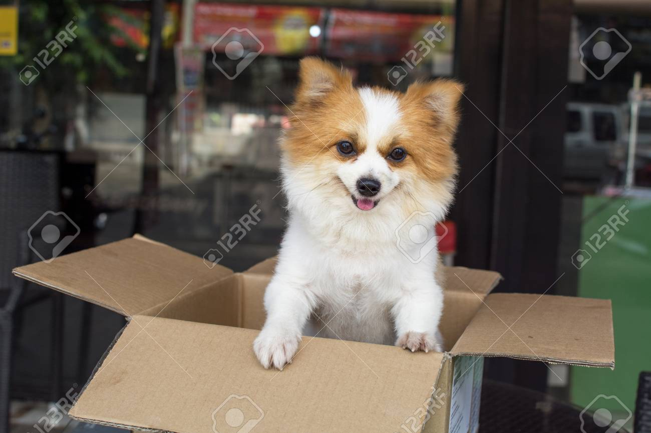 Lovely Furry White And Brown Color Pomeranian Dog Standing In