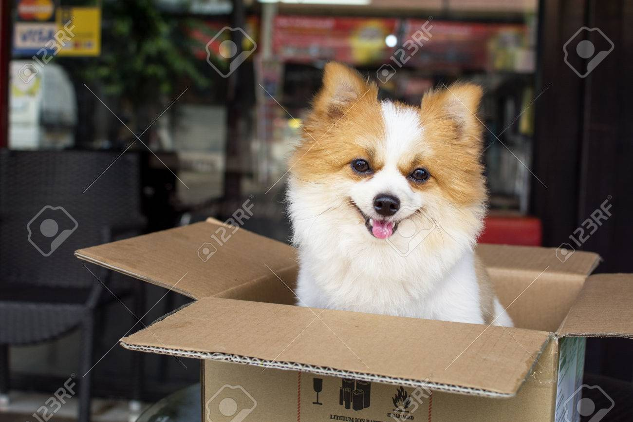 Lovely Furry White And Brown Color Pomeranian Dog Sitting In Stock