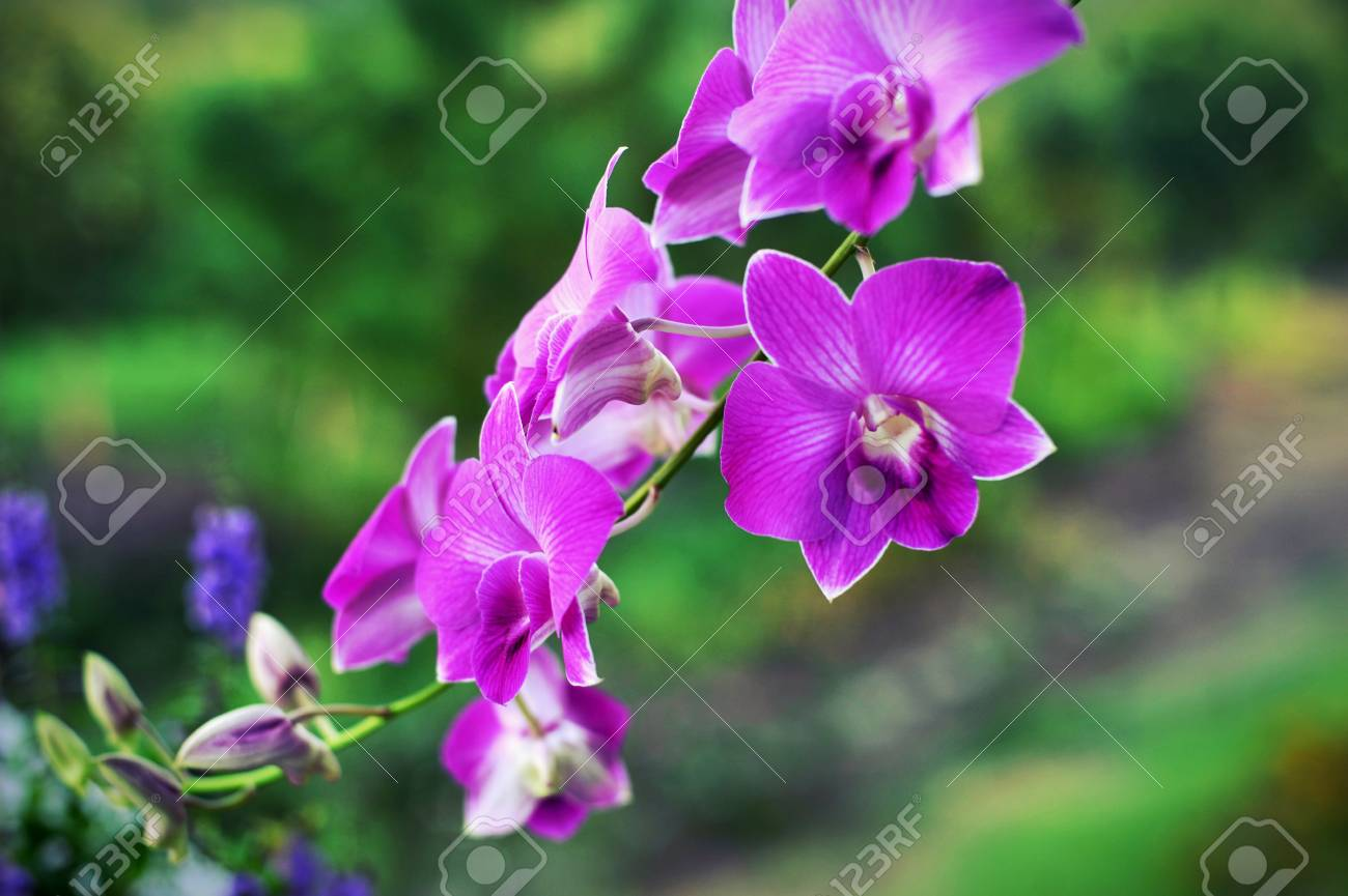 Orchid flowers beautiful orchid natural flowers stock photo orchid flowers beautiful orchid natural flowers stock photo 83432206 izmirmasajfo