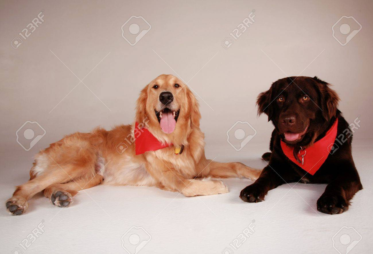 Two Dogs Chocolate Lab & Golden Retriever Stock Photo, Picture And ...
