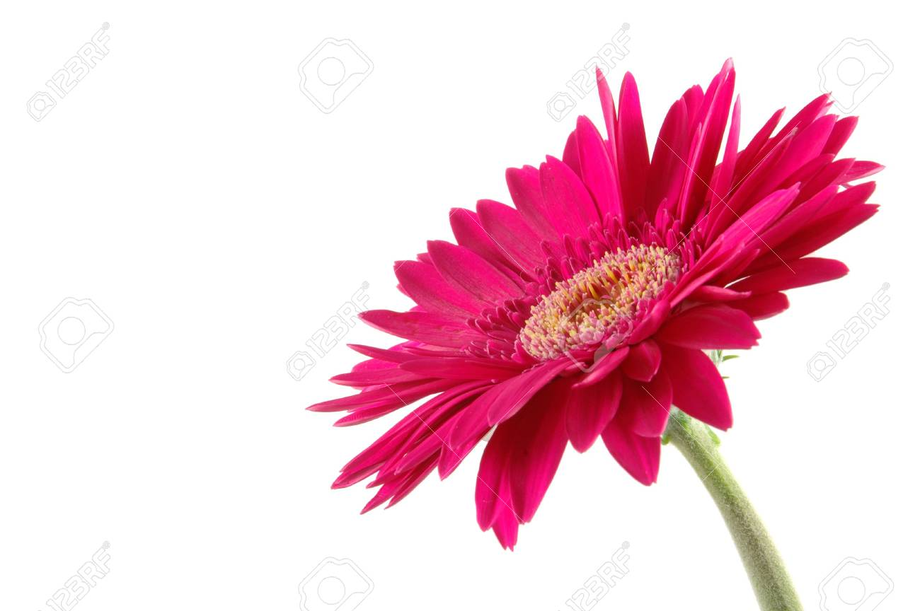 Pink gerber daisy in isolated white Stock Photo - 592355