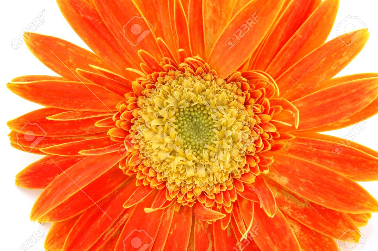 Close up of orange gerber daisy in isolated white Stock Photo - 592373