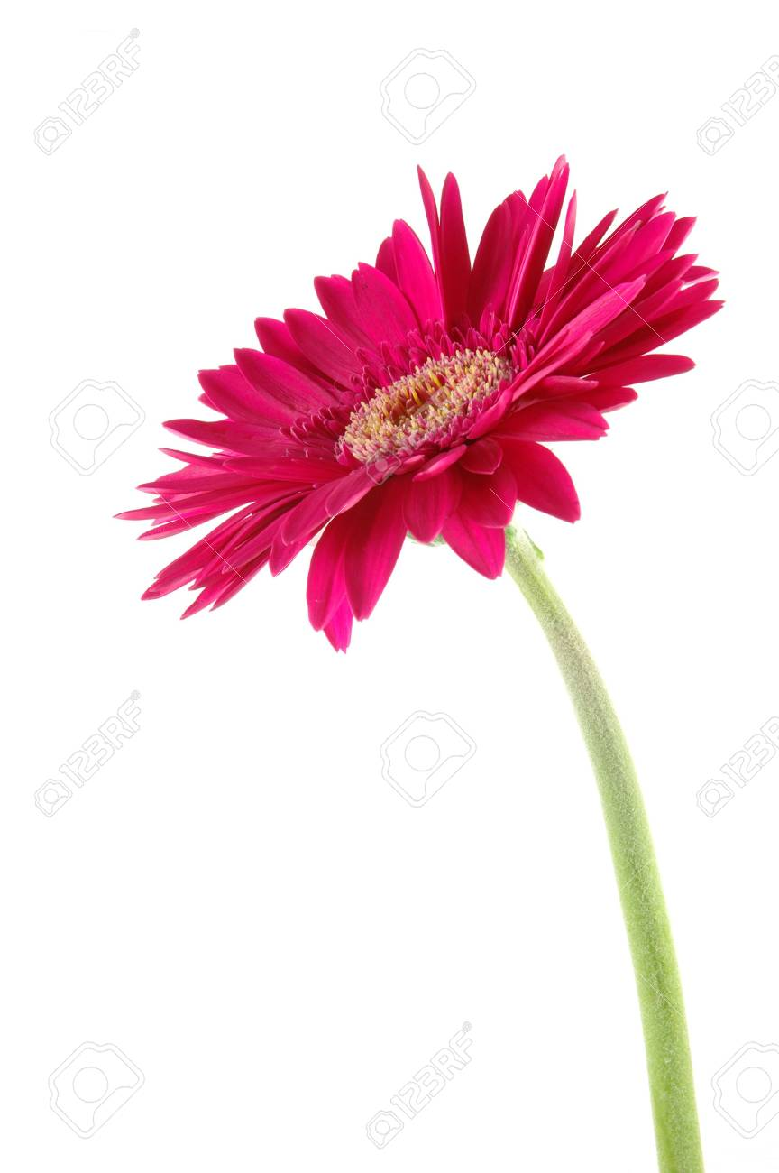 Pink gerber daisy in isolated white Stock Photo - 592458