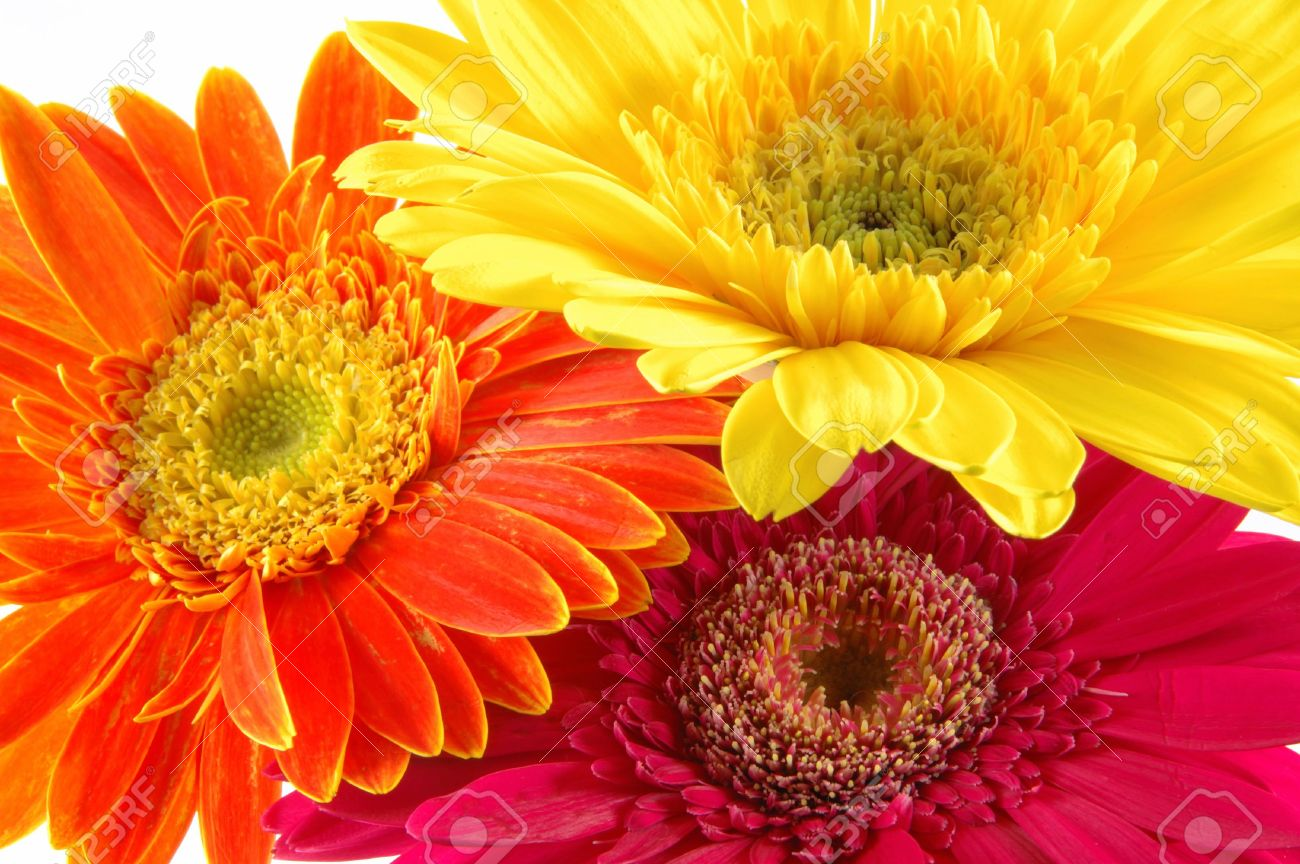 Close up of three colorful gerber daisies in isolated white Stock Photo - 592463