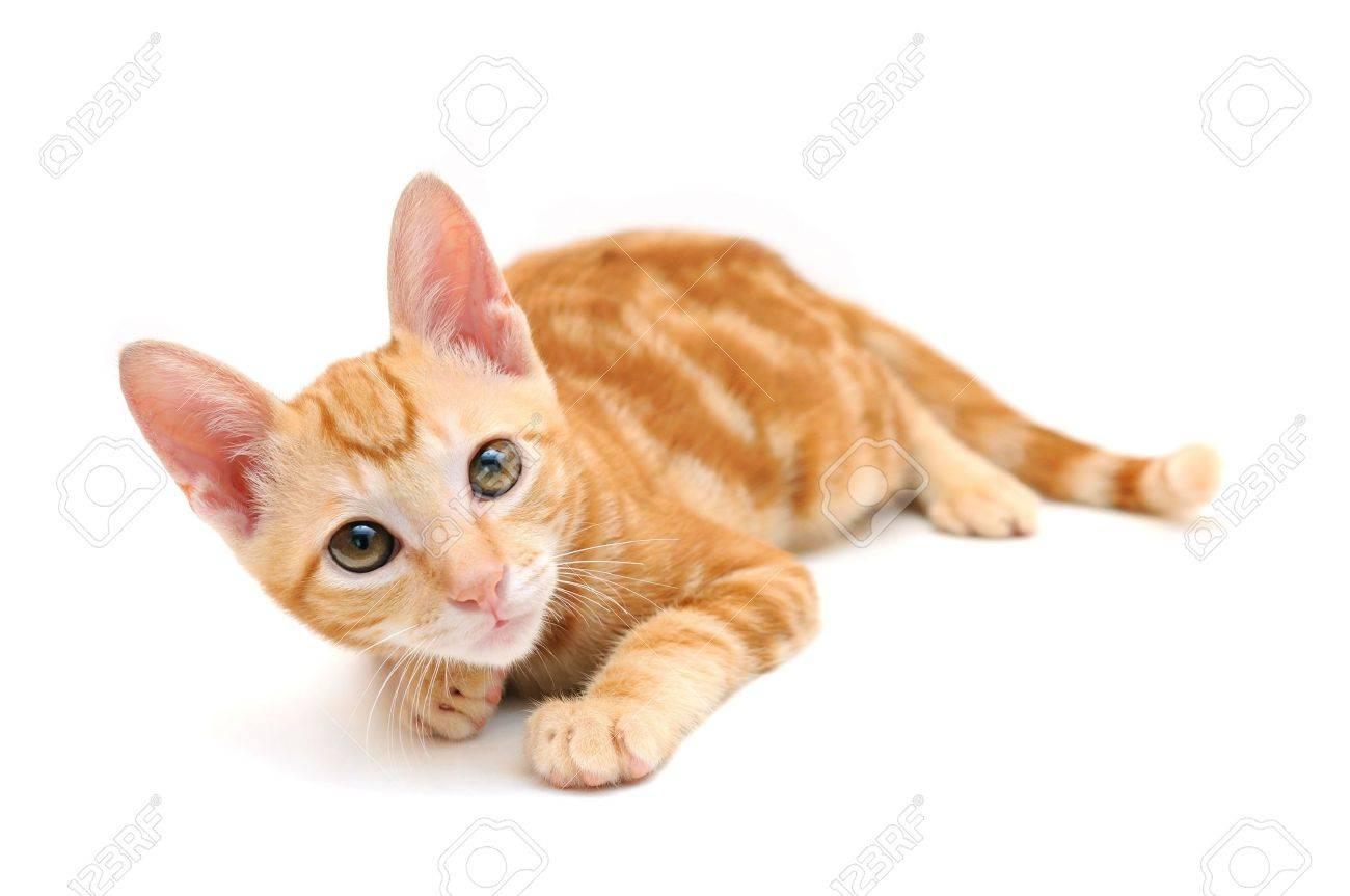 Orange tabby kitten isolated on white background Stock Photo - 3530270