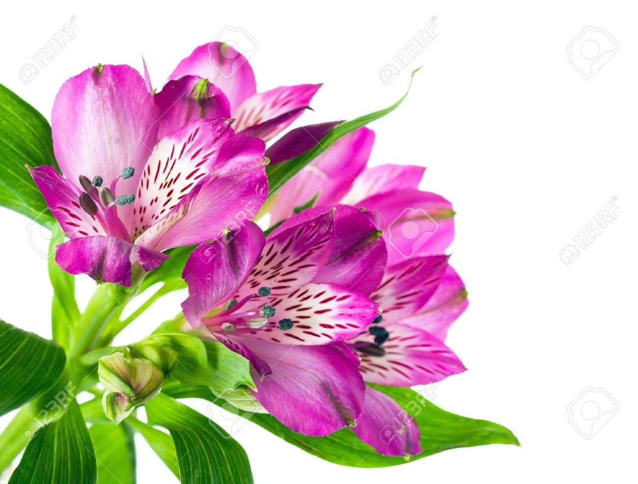 Belle Fleur Rose Orchidee Sur Fond Blanc Banque D Images Et Photos