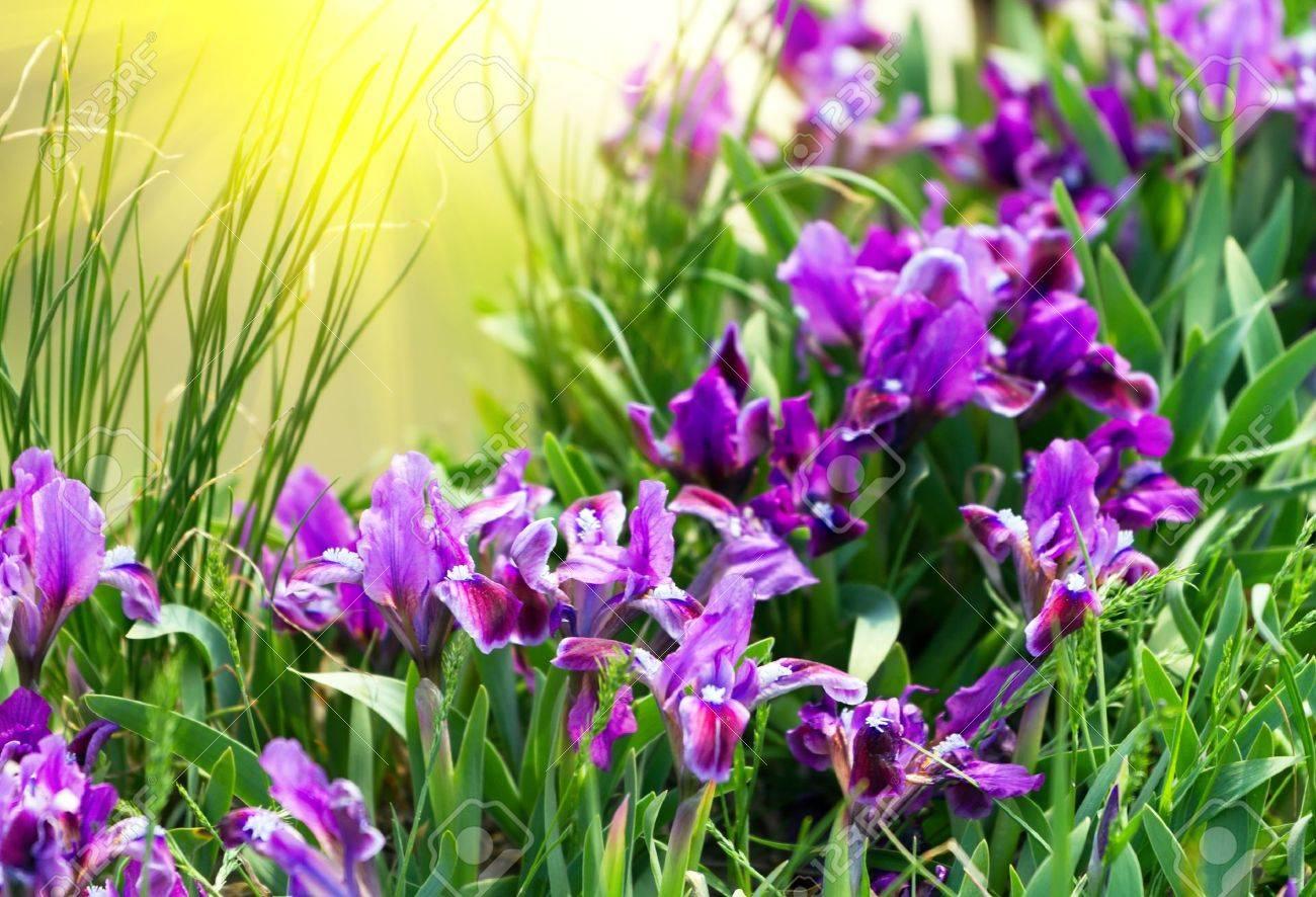 Spring Iris Flowers - 9462977