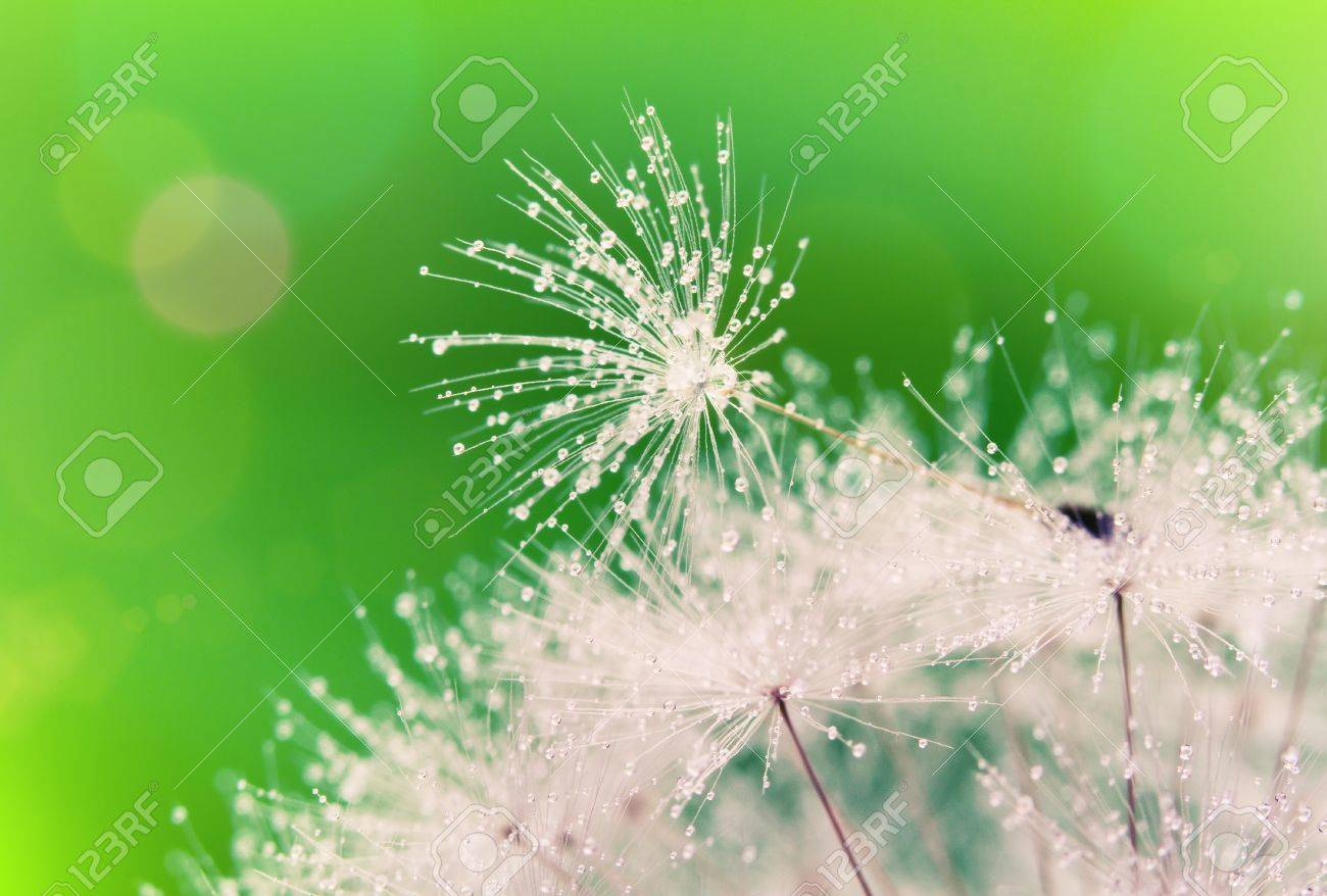 Close-up of wet dandelion seed with drops - 9524841
