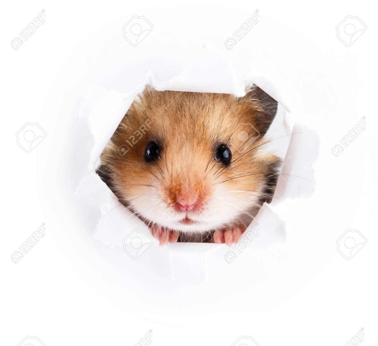 Little hamster looking up in paper side torn hole - 60889687
