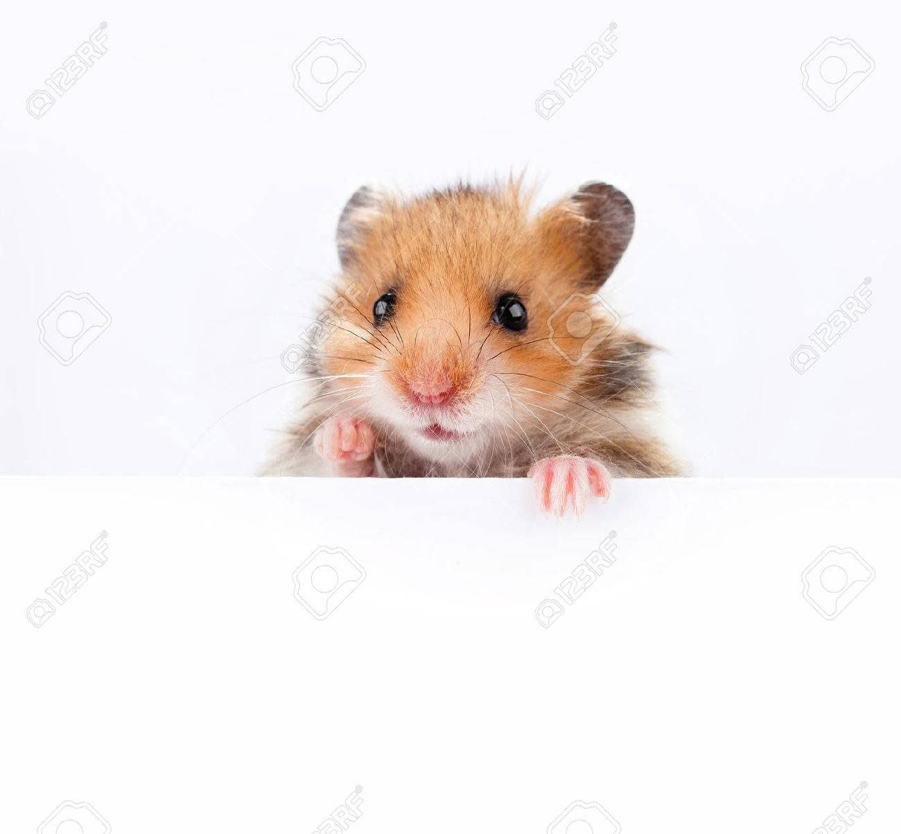 Little hamster hanging its paws over a white banner - 60826380
