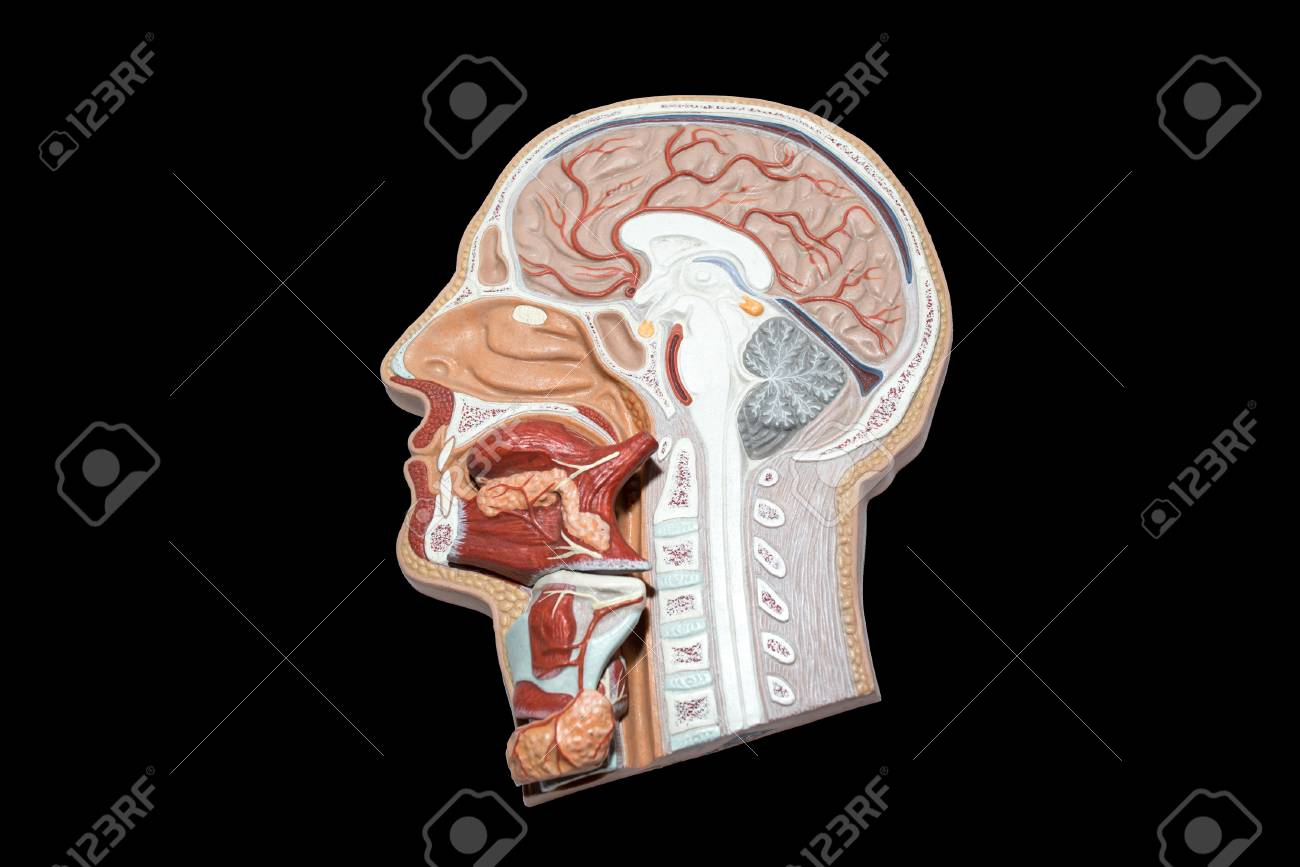 Model Of Human Head And Neck For Study, Isolated On Black Background ...