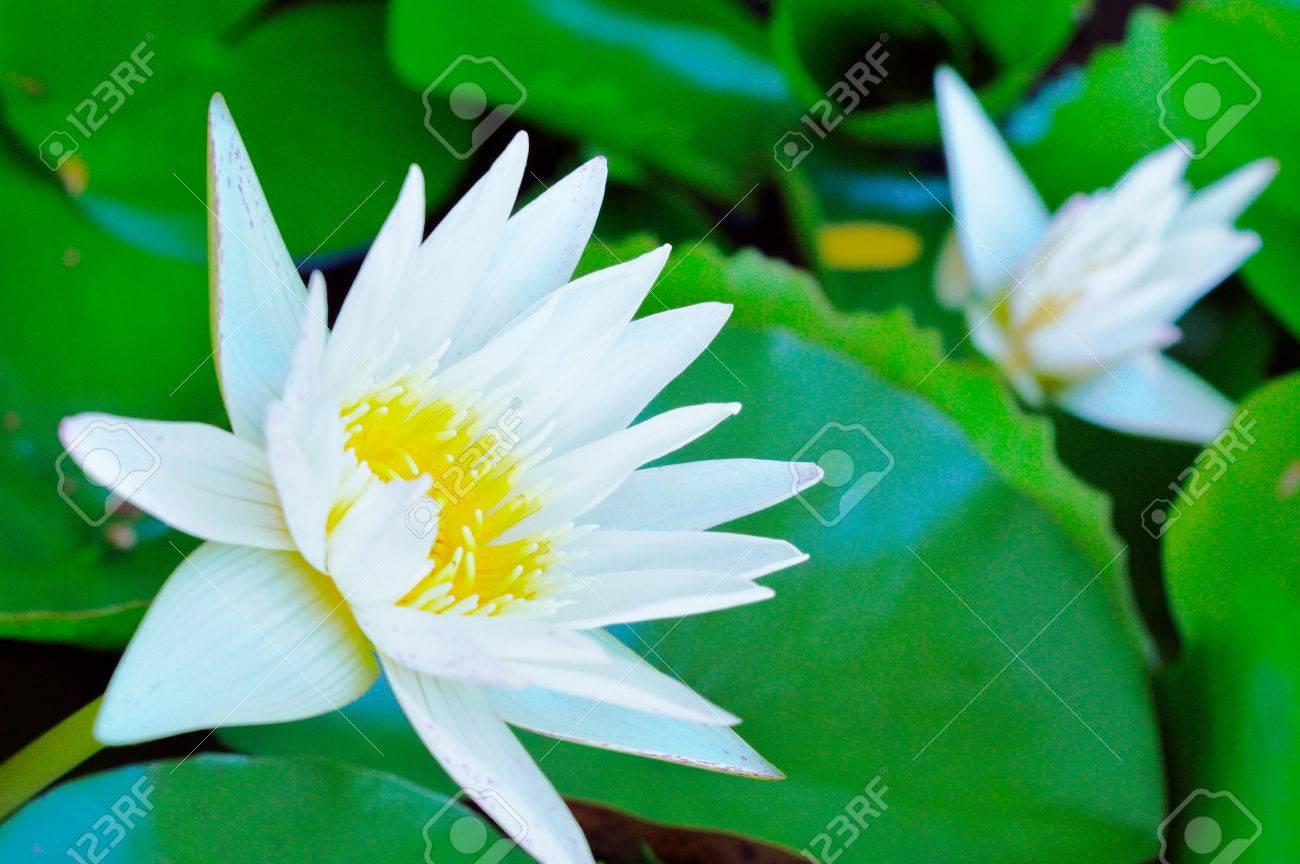 White Lotus Symbol Of Pure Mind Royalty Free Stok Fotoraf Resimler