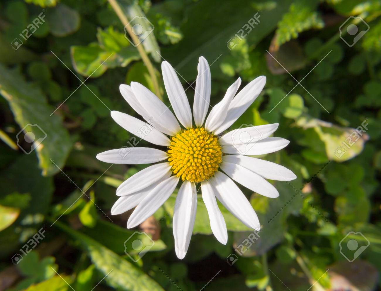 Flower daisy white yellow close up one petal wildlife flower daisy white yellow close up one petal mightylinksfo