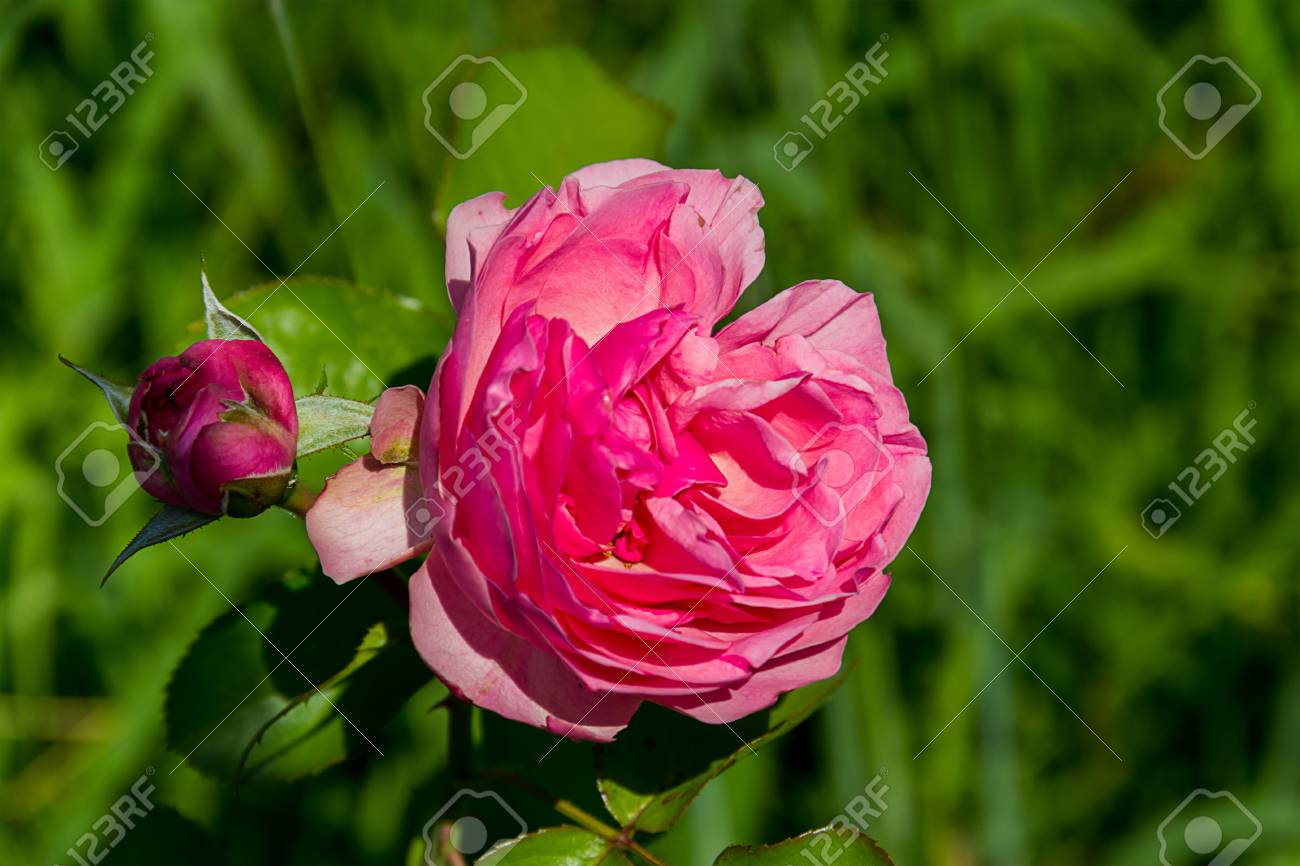 Large flower bud to blossom pink roses with booth burgundy bush large flower bud to blossom pink roses with booth burgundy bush on a summer day close mightylinksfo