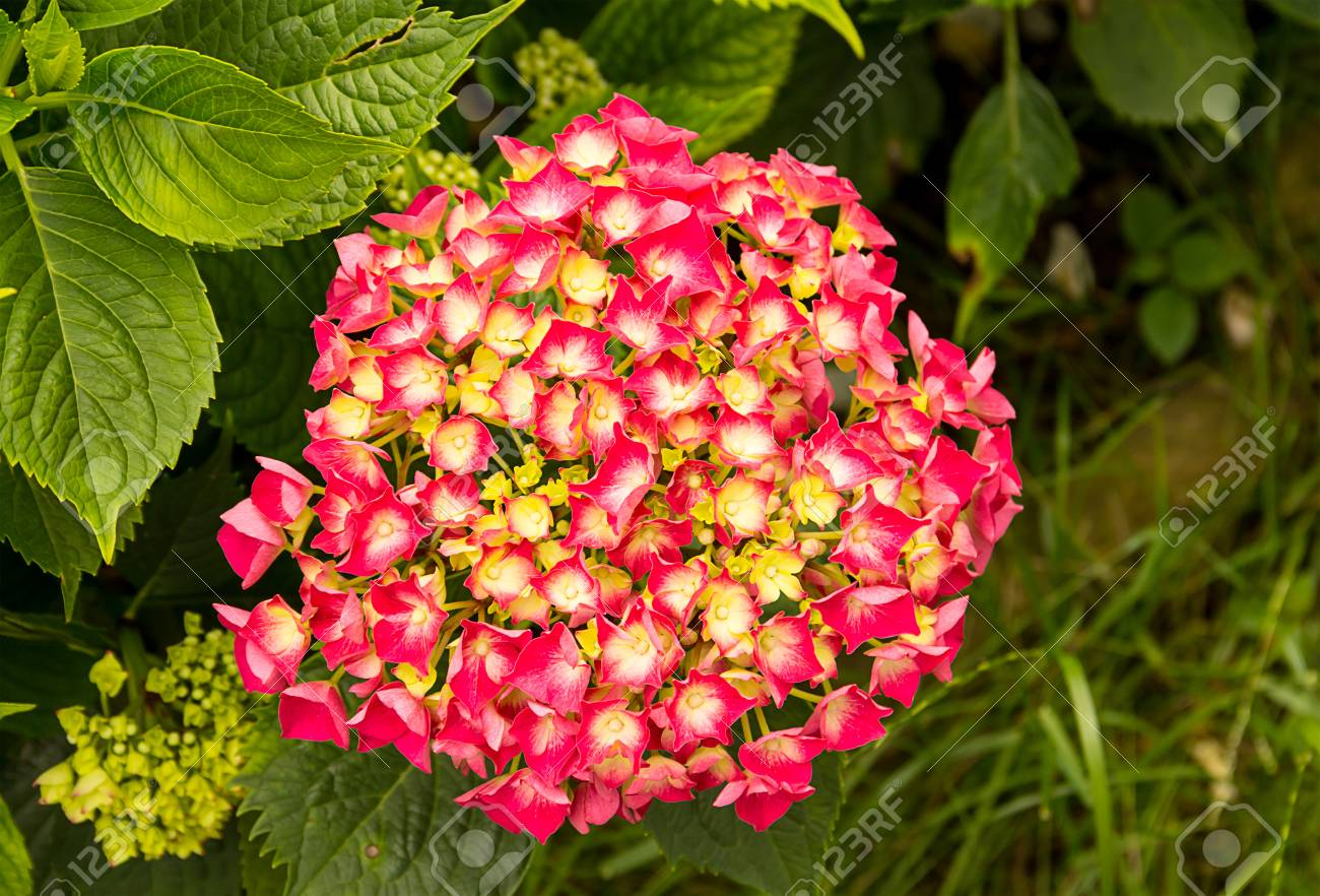 Plant Bush With A Scattering Of Bright Pink Red Flowers With Stock