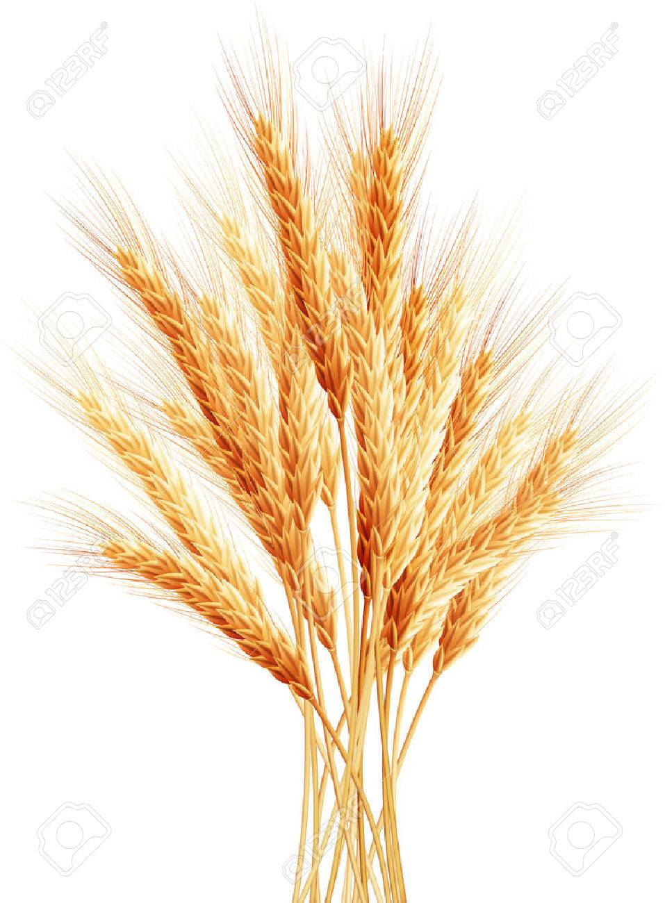 Stalks of wheat ears. - 40617716