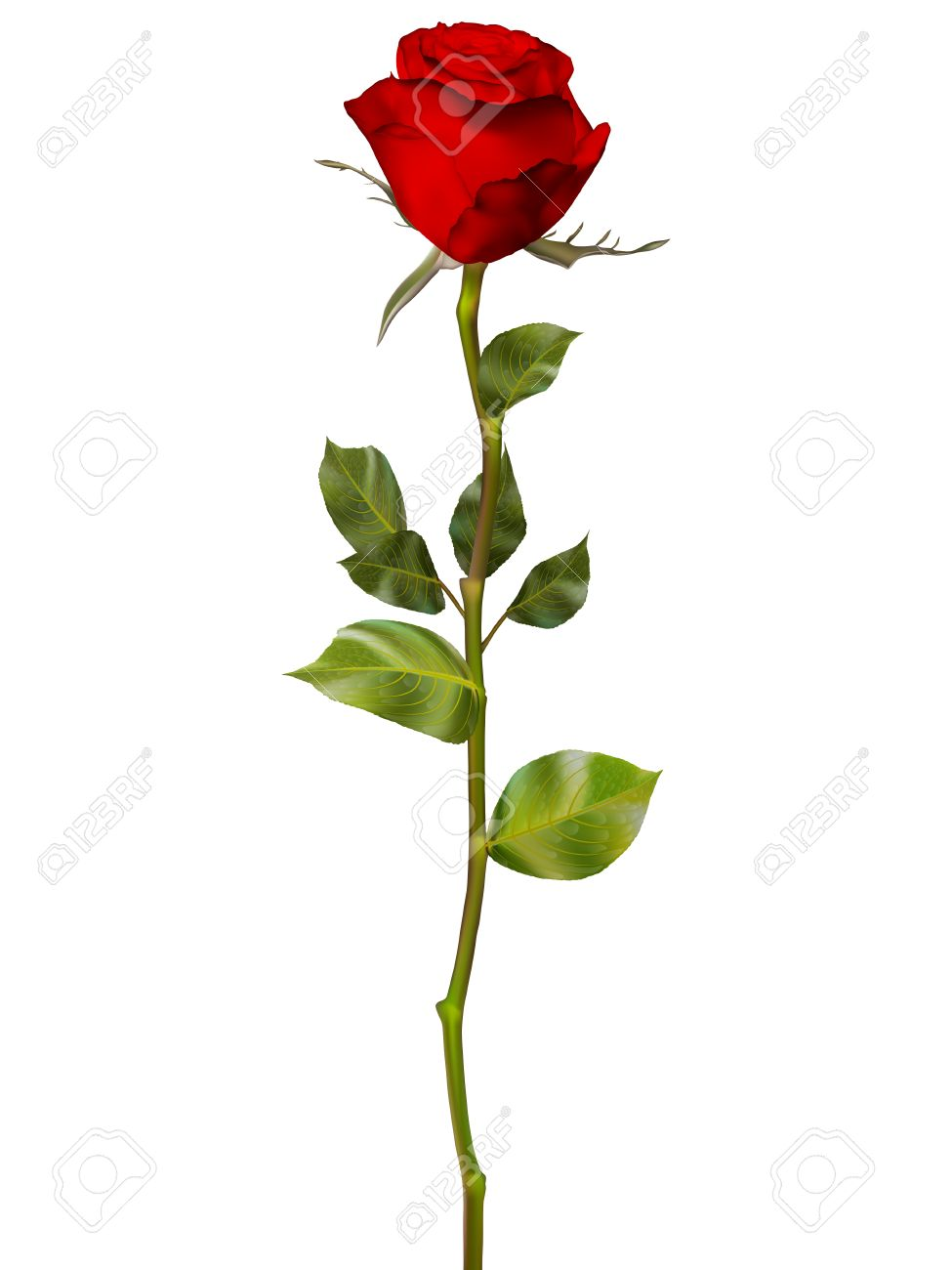 Red Rose isolated on white. EPS 10 vector file included - 52420774