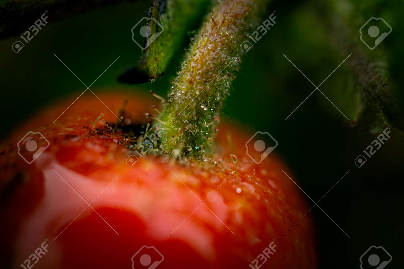 Macro image of ripe orange rosehip fruit covered with rain drops - 163422473