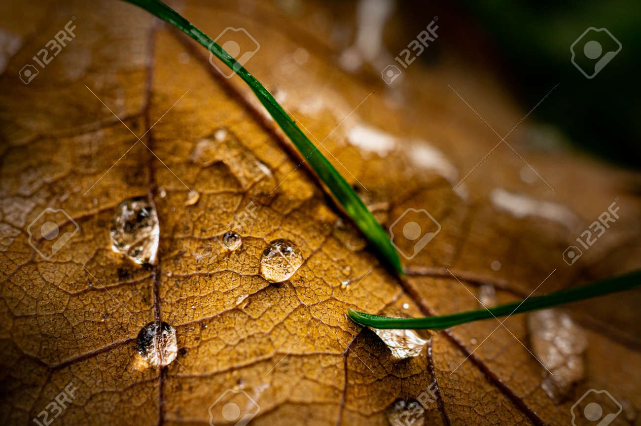 Macro image of oak tree leaf covered with water drops and blades of grass - 163421921