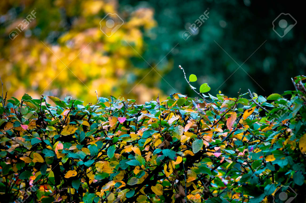 Background of neatly manicured bushes covered with colorful leaves in autumn - 163421779