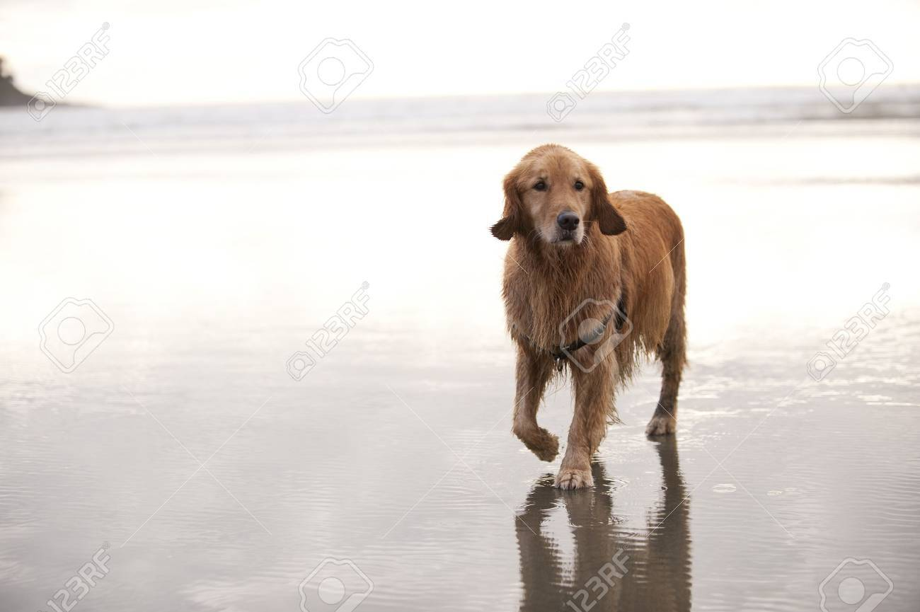 Wet Golden Retreiver walks towards camera on a wet sandy beach. The ocean and sky in the background is mostly bright or white. Stock Photo - 9085627