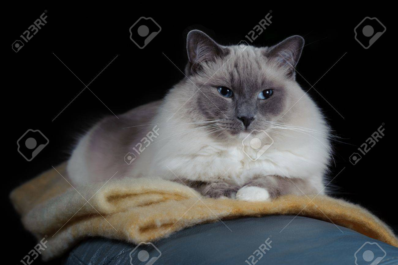 a ragdoll cat sits on a blanket he is on a black background stock
