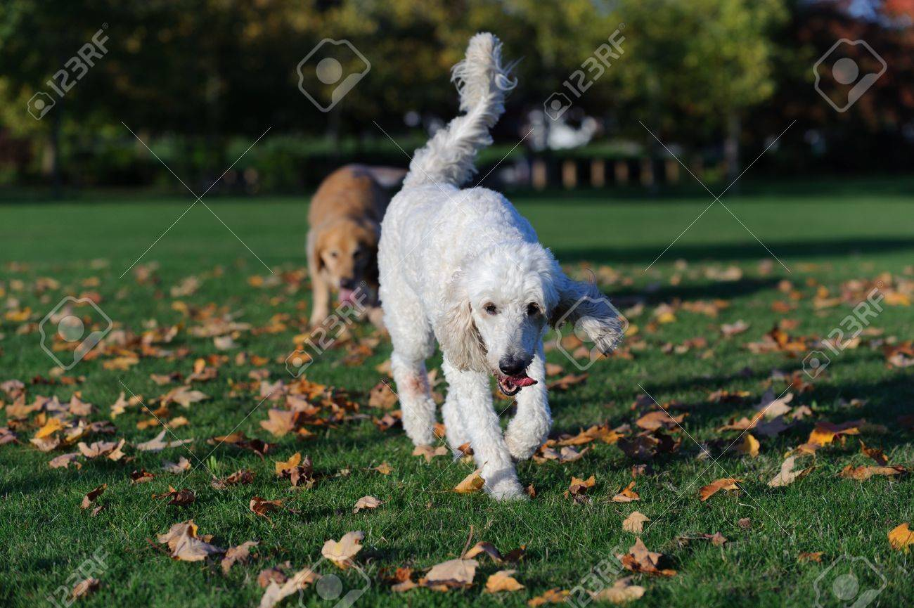 A white golden doodle dog walks towards the camera  The dog looks