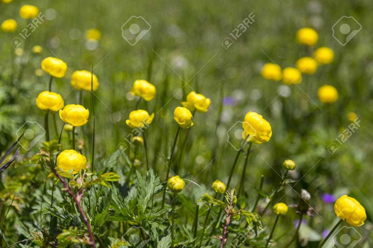 Field Of Yellow Flowers In Swiss Alps Near Kandersteg Switzerland