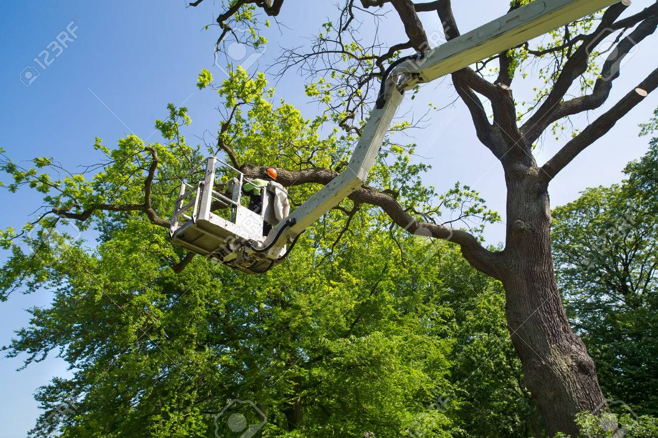Gardener or tree surgeon pruning a tree using an elevated platform on the hydraulic articulated arm of a cherry picker - 66531338