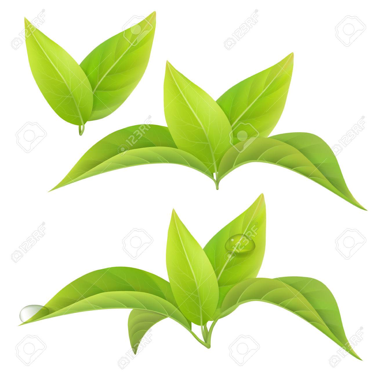 Set of green tea leaves isolated on a white background with drops of dew. floral elements. Stock Vector - 55050094