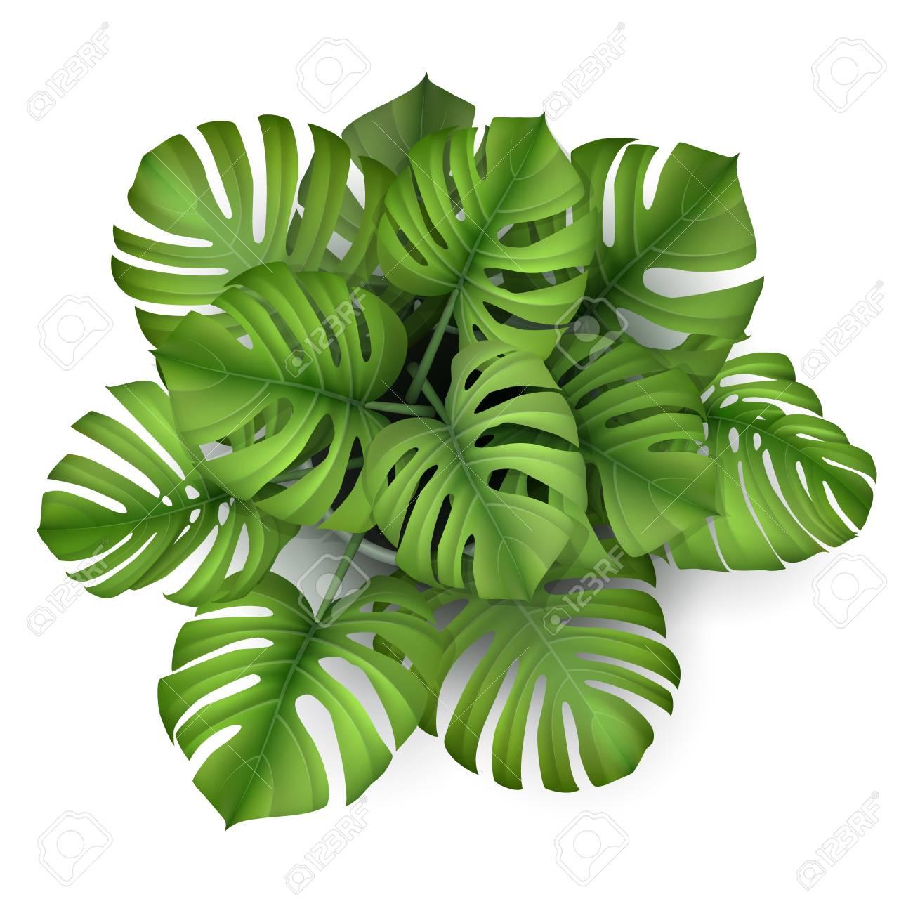 Monstera plant in a pot, top view. Houseplant for decorating.. on philodendron houseplant, avocado houseplant, flacourtia indica, ficus houseplant, nephthytis houseplant, coccoloba uvifera, hovenia dulcis, dovyalis caffra, marsdenia australis, syzygium fibrosum, colocasia esculenta, pleiogynium timorense, xanthosoma sagittifolium, lemon drop mangosteen, myrica rubra, monstera epipremnoides, pothos houseplant, dieffenbachia houseplant, codiaeum variegatum, sansevieria trifasciata,