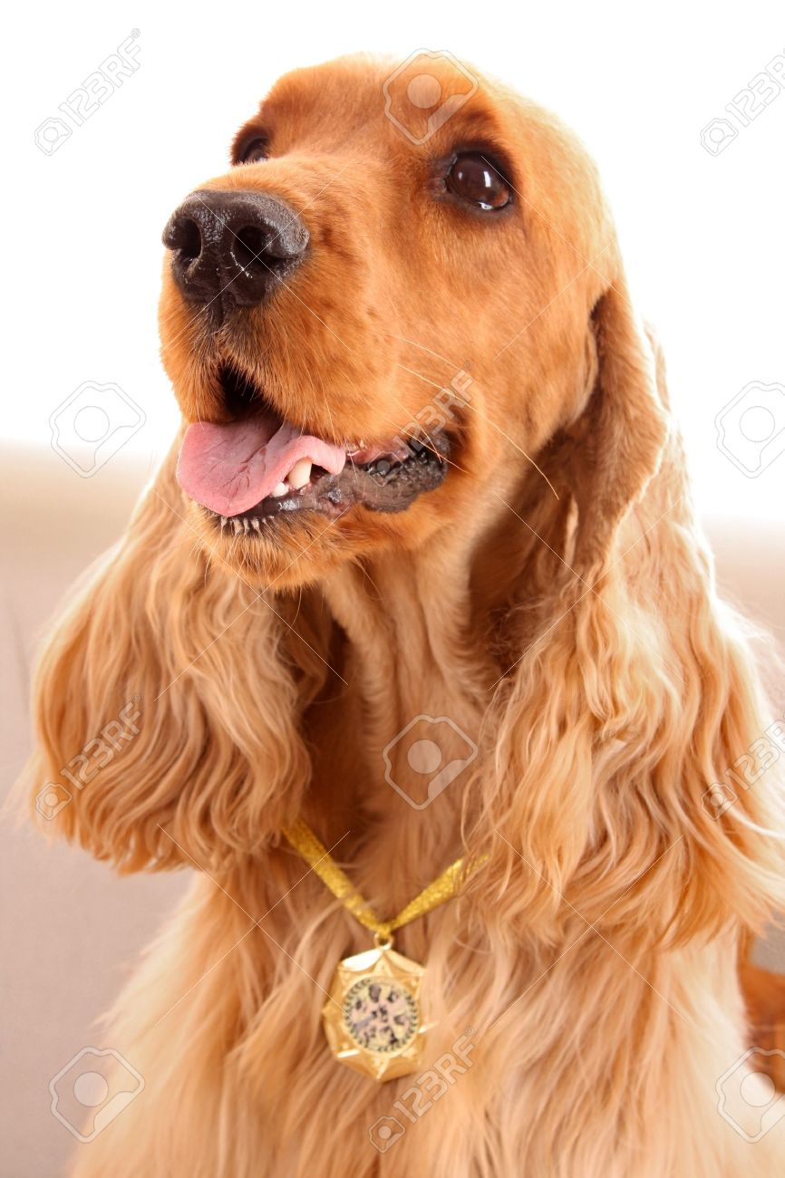 young brown cocker spaniel on white background stock photo picture