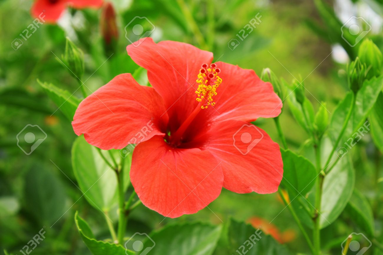 Red tropic flower outdors stock photo picture and royalty free red tropic flower outdors stock photo 8081760 izmirmasajfo