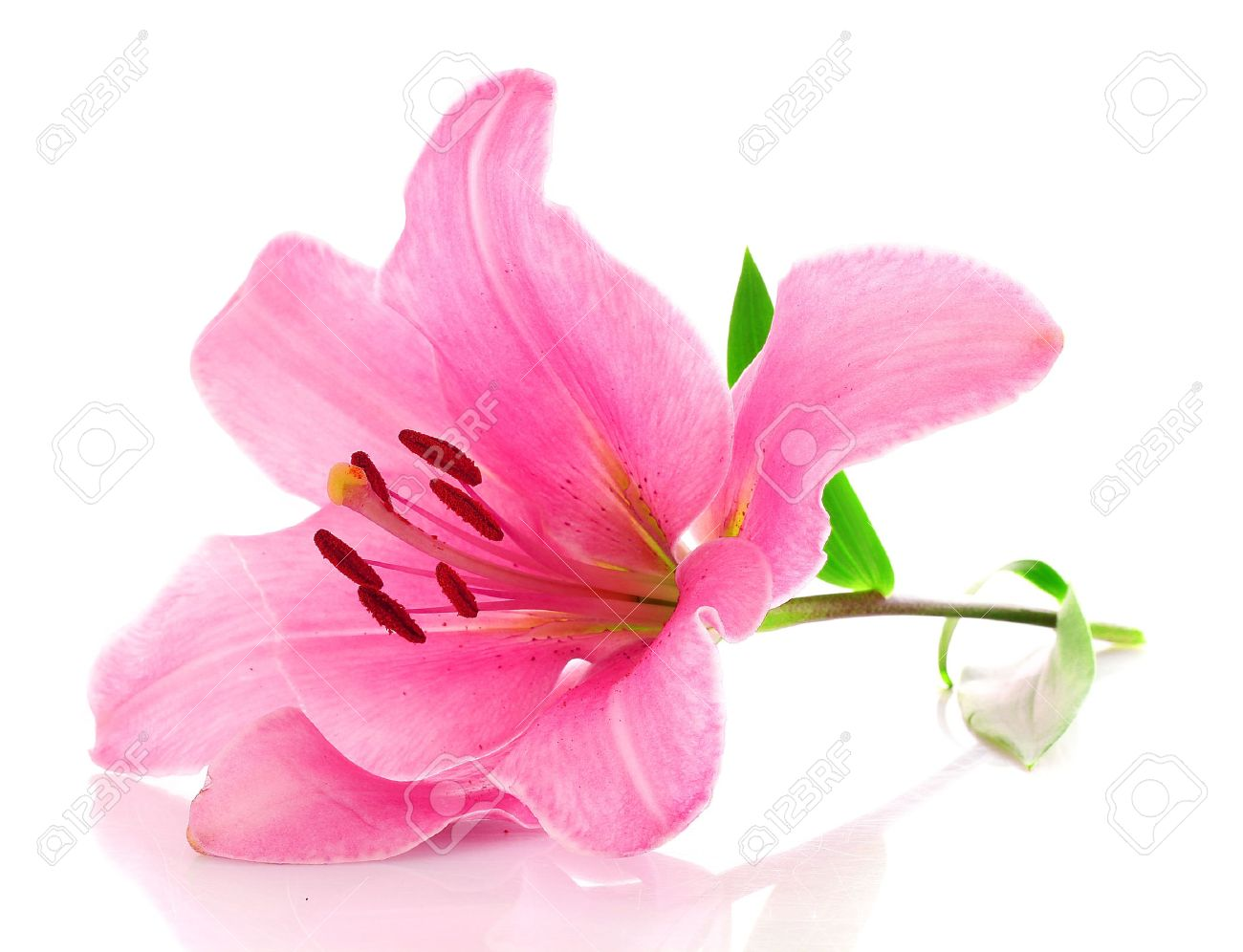 lily flower stock photos  pictures. royalty free lily flower, Beautiful flower