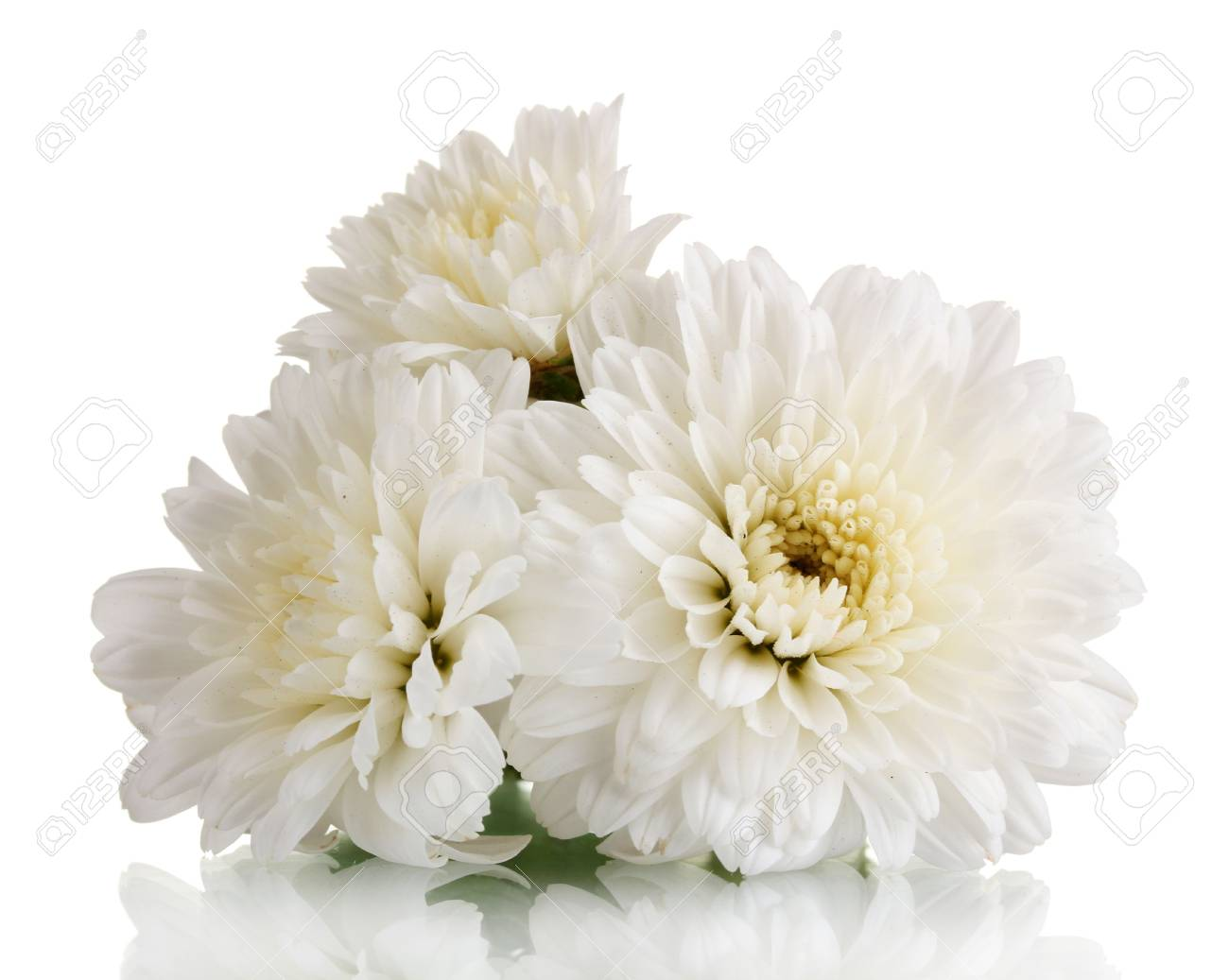 White chrysanthemums flowers isolated on white stock photo picture white chrysanthemums flowers isolated on white stock photo 11169174 mightylinksfo