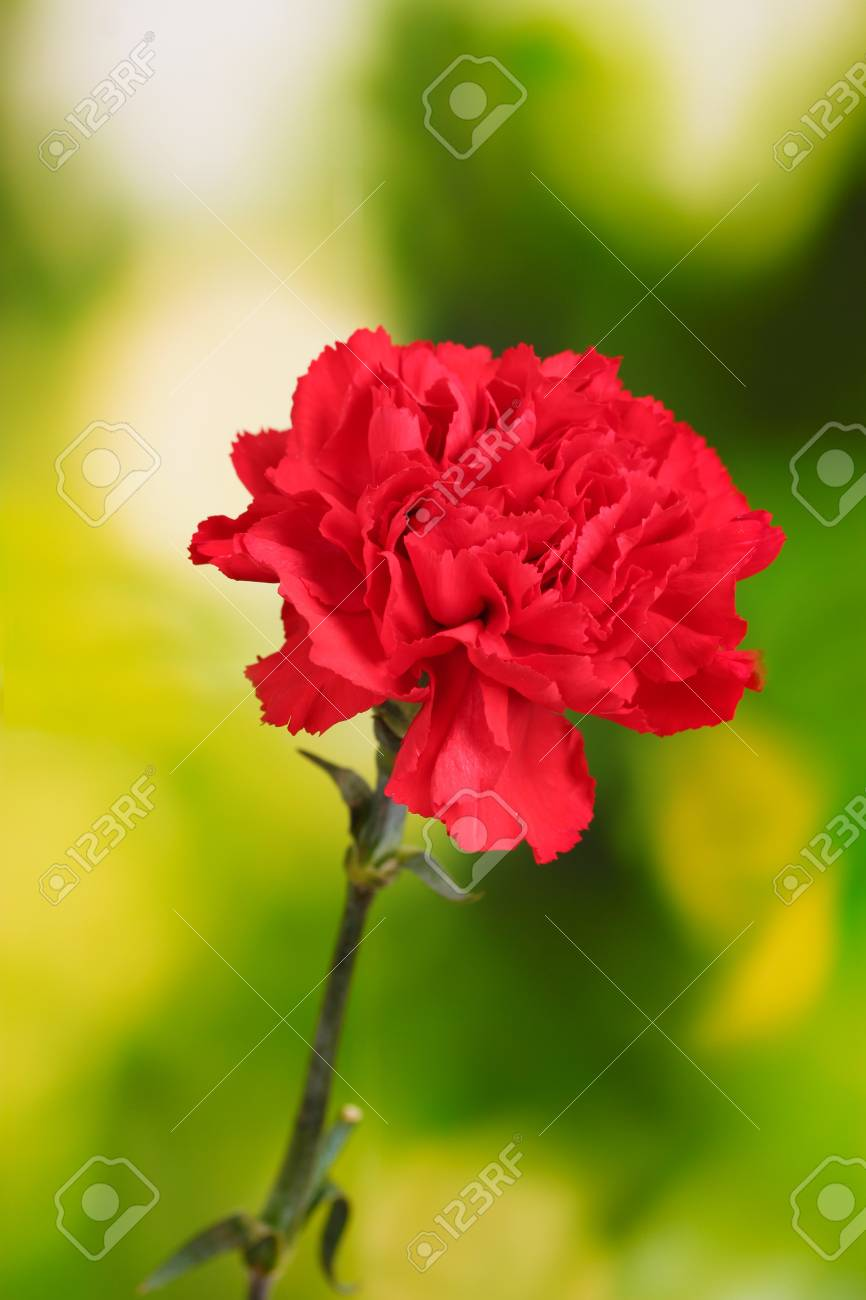 Red carnation on green Stock Photo - 11406959