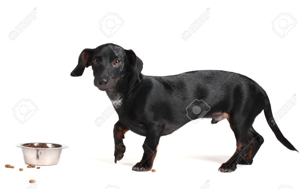 black little dachshund dog and food isolated on white Stock Photo - 11999754