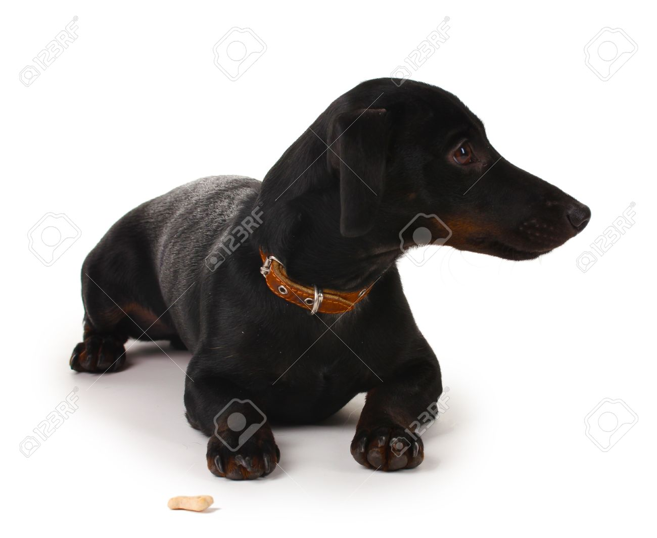 black little dachshund dog isolated on white Stock Photo - 12264937
