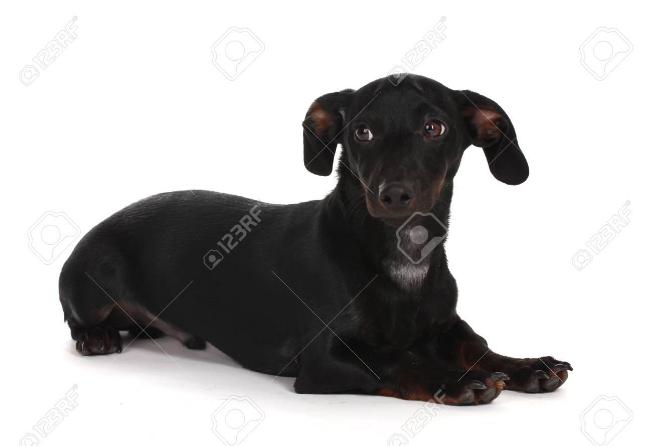 black little dachshund dog isolated on white Stock Photo - 12264925