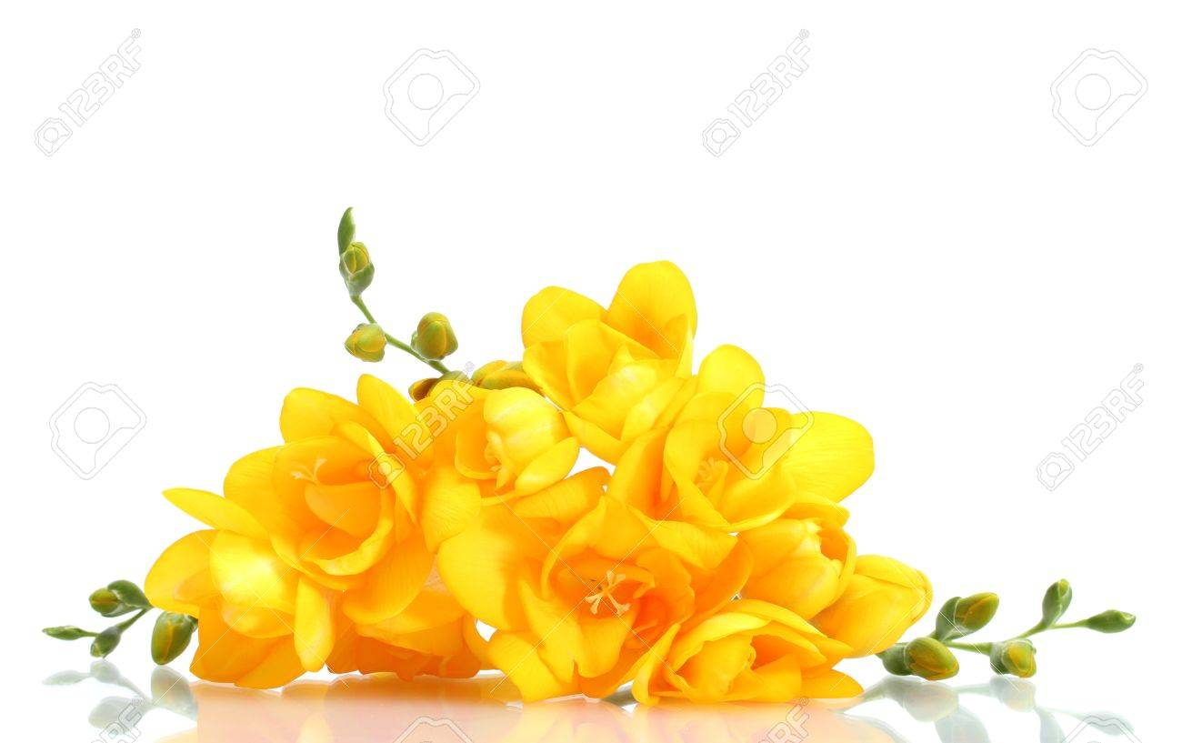Beautiful yellow freesias isolated on white Stock Photo - 12891932