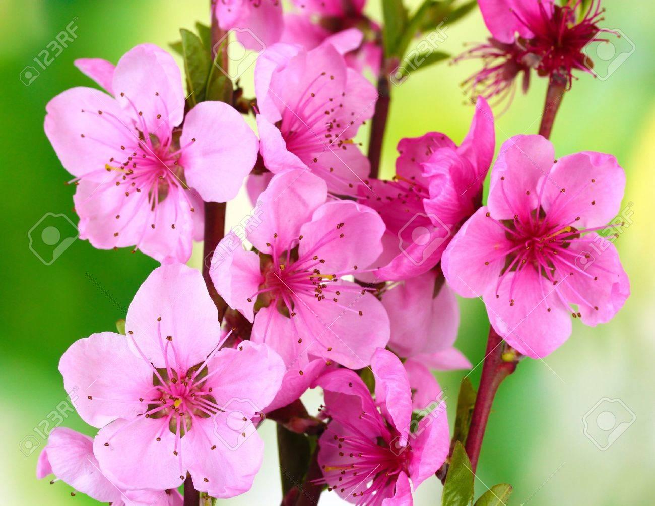 Belle Fleur De Pecher Rose Sur Fond Vert Banque D Images Et Photos