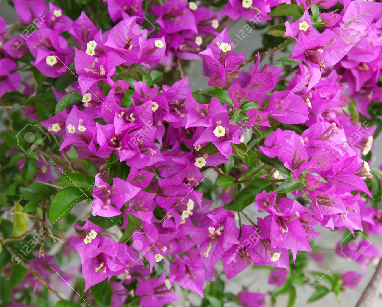 Purple bougainvillea flower close-up Stock Photo - 14163606